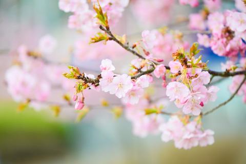 ちょっと見頃は過ぎちゃったけど,春っぽい(^^) 【フォトアルバムはこちらへ~】