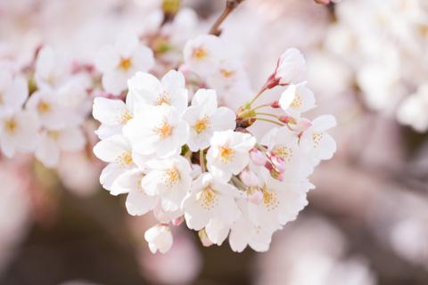 桜は花びらがとても綺麗で,また枝が低いので撮りやすいです(^^)