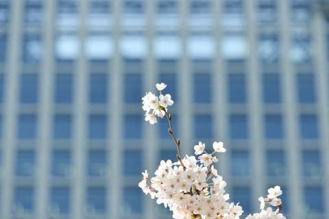 浜離宮庭園の桜。都会のど真ん中なので,高層ビルを背景にできます。なんかさわやか(^^)