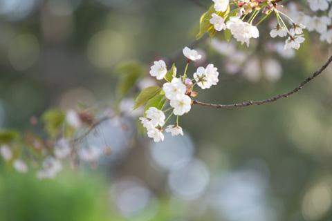 かわいい桜です(^^)